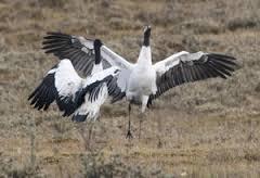 Black neck Crane in Pobjika Vallley