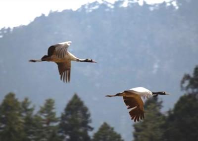 The last of Black Neck Crane flying back to Tibet from Bhutan