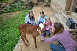 Sheridan family with playing with the calf