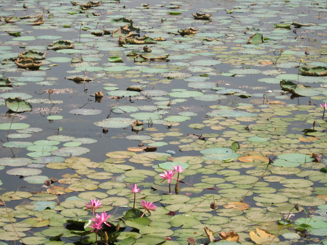Lotus Flower-Agra