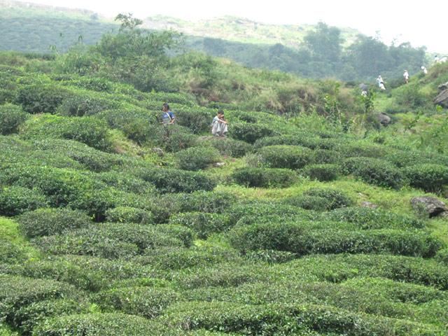 Tea Garden- Darjeeling