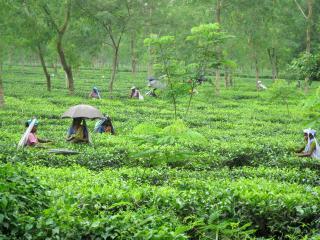 Happy Valley Tea Estate