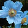 himalayan-blue-poppy-1371385005_b