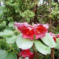 rhododenron2