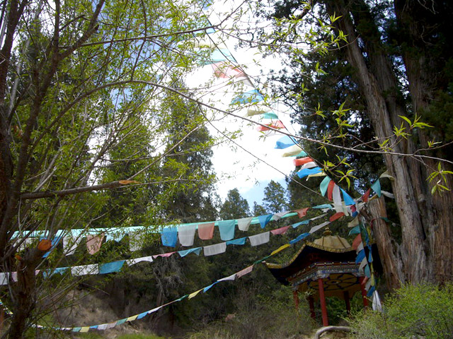 041309_Nyingchi_Cypress