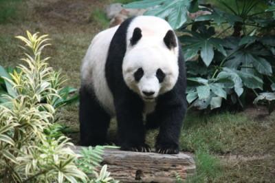 Gaint-Panda-620x413